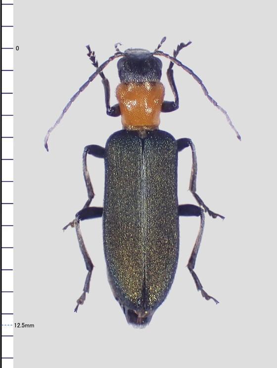カミキリモド Indasclera属の一種?