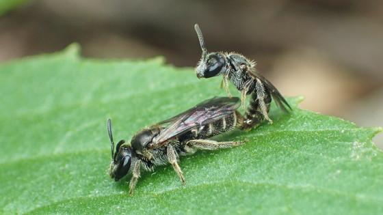 ハナバチの交尾