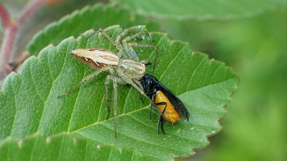 ササグモに捕食されたチュウレンジバチ
