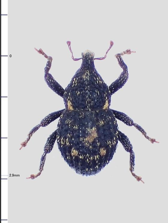 Simulatacalles属の一種?