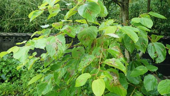 ツシマヘリビロトゲハムシの育つケンポナシ