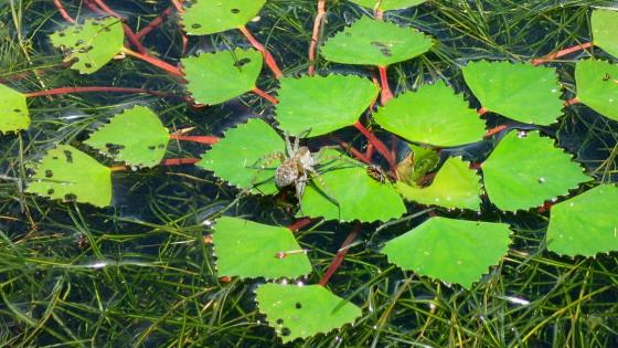 ジュンサイの上を走るクモ
