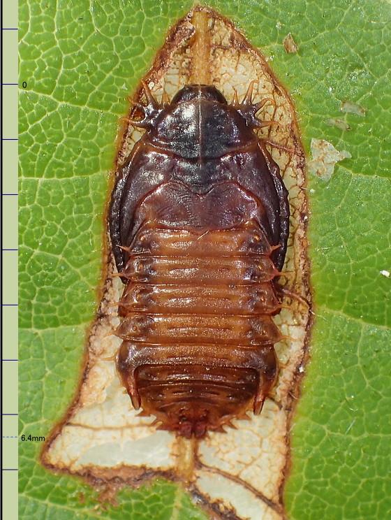 蛹室の中のツシマヘリビロトゲハムシの蛹
