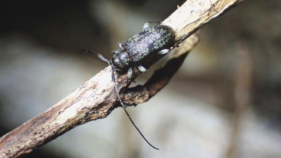 クロオビトゲムネカミキリ