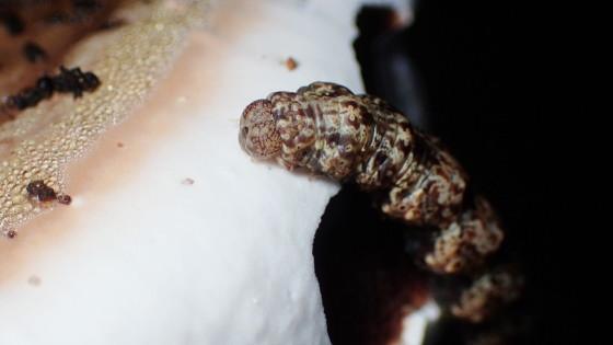 キノコを食べる蛾の幼虫