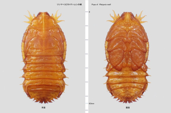 ツシマヘリビロトゲハムシの蛹