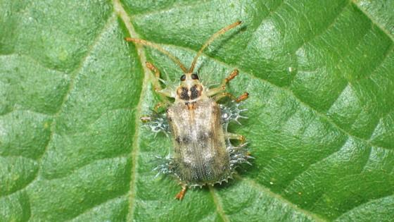 ツシマヘリビロトゲハムシ