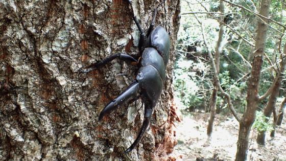 ヒラタクワガタ 対馬亜種