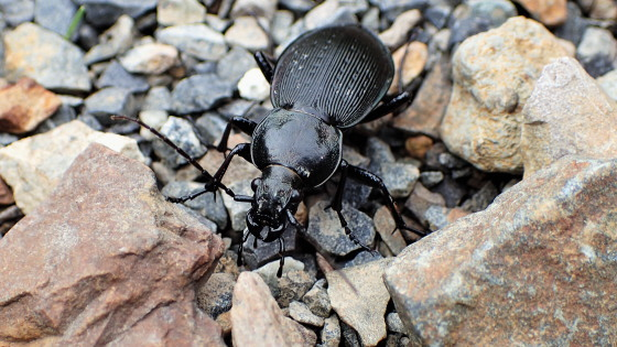 ヒメオサムシ壱岐亜種(イキオサムシ)黒化型