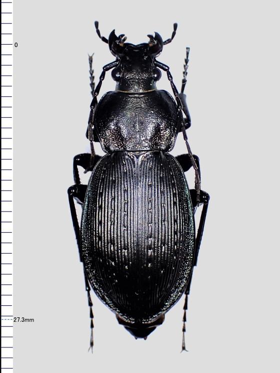 ヒメオサムシ壱岐亜種 黒化型