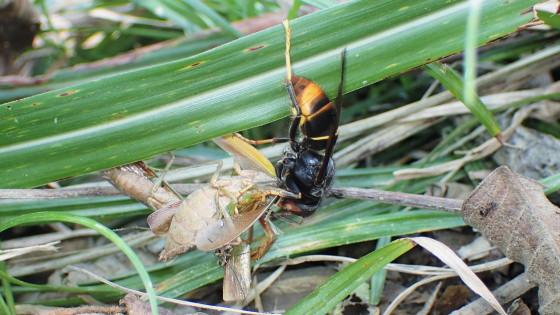 ツマアカスズメバチ 捕食行動