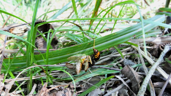ツマアカスズメバチ 捕食