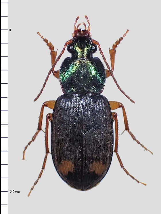 アオゴミムシの仲間 Chlaenius sp.