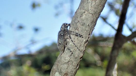 カタシロゴマフカミキリ
