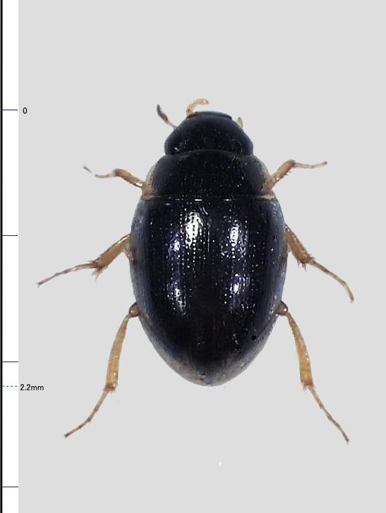 ミリ虫-93 ガムシの一種