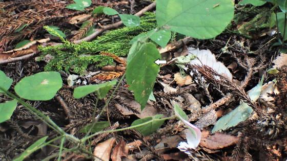 ツシマウラボシシジミ 生息域内保全