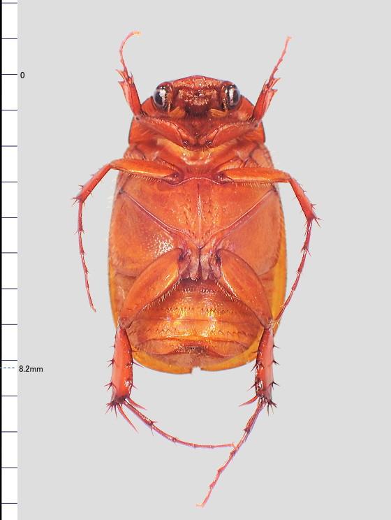 Maladera castanea castanea (Arrow, 1913)