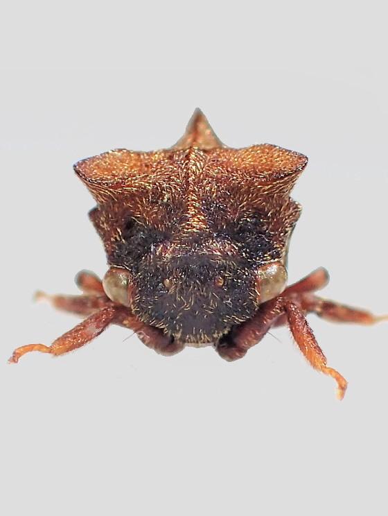 Machaerotypus sibiricus (Lethierry,1876)