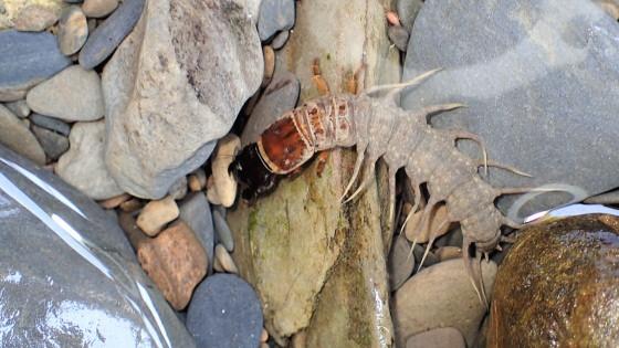 ヘビトンボの一種 幼虫