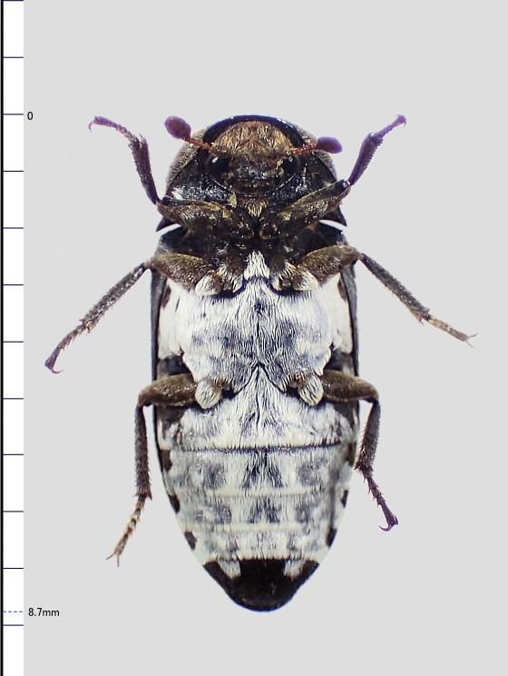 Dermestes coarctatus Harold, 1877