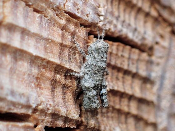 イボバッタの若齢幼虫?