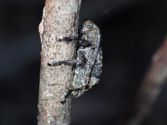 ツシマハネナシサビカミキリ