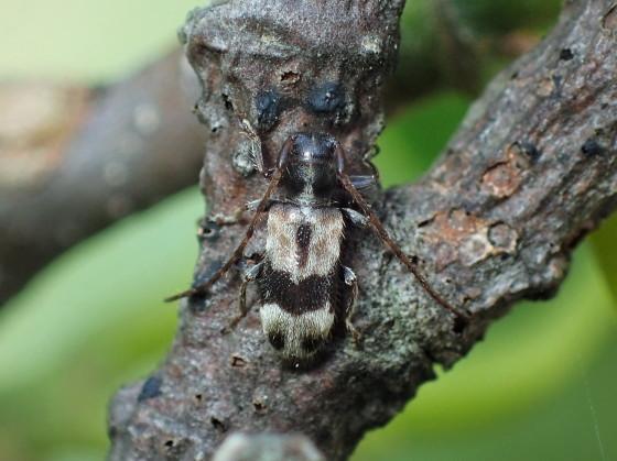 ニイジマチビカミキリ 対馬亜種