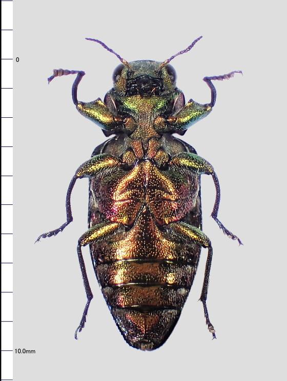 Chrysobothris succedanea E.Saunders,1873