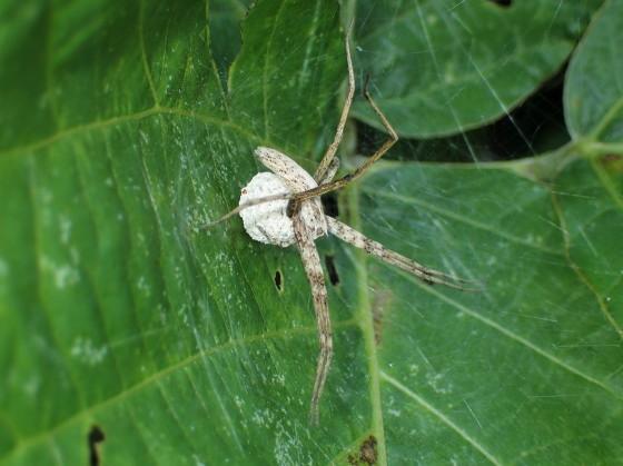 卵を抱くクモ