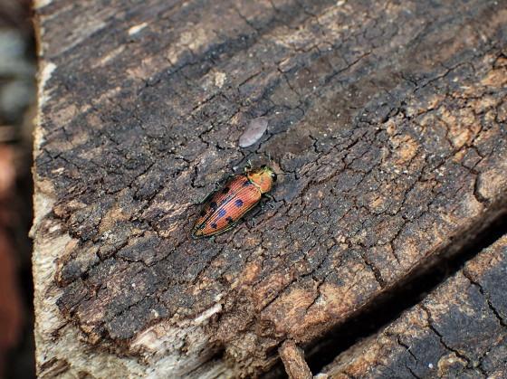 マスダクロホシタマムシ