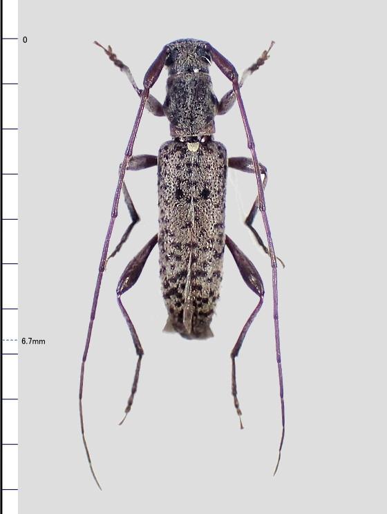 Rondibilis elongata ssp.?