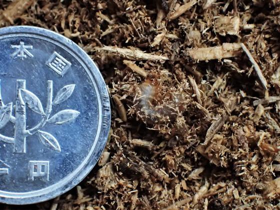 シナハナムグリ 若齢幼虫