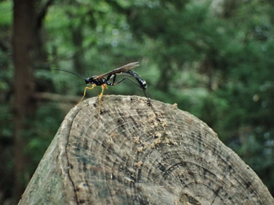 ヒメバチの一種