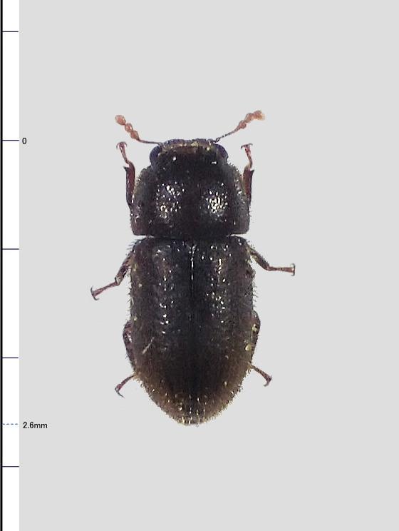 ミリ虫-112 ツツキノコムシの一種?