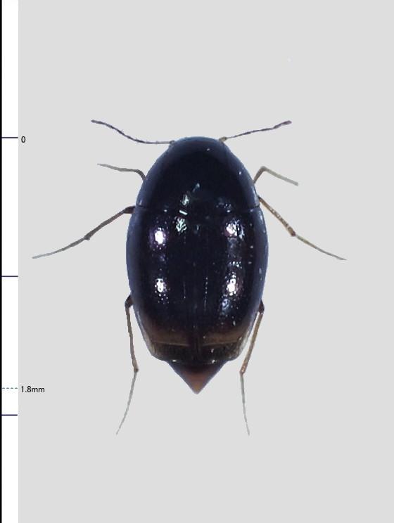 ミリ虫-116 ケシデオキノコムシの一種