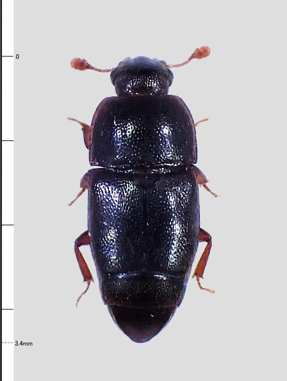 ミリ虫-117 デオキスイの仲間