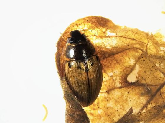 キイロヒラタガムシ