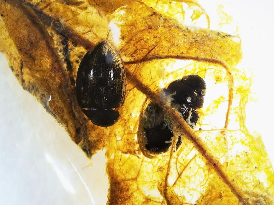 シジミガムシの一種
