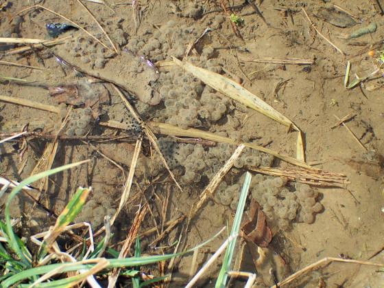 ツシマアカガエルの卵塊