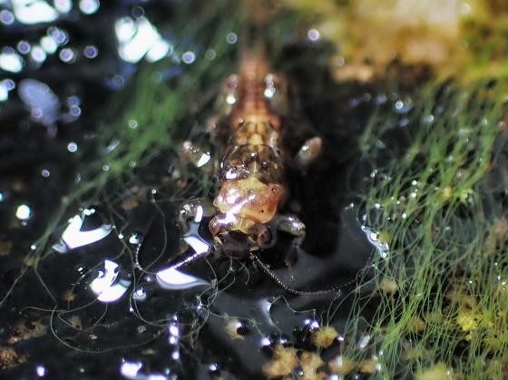 オナシカワゲラの仲間の幼虫