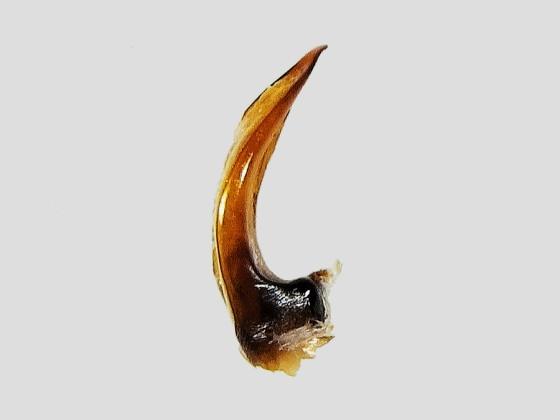 マルガタゴミムシの一種の交尾器