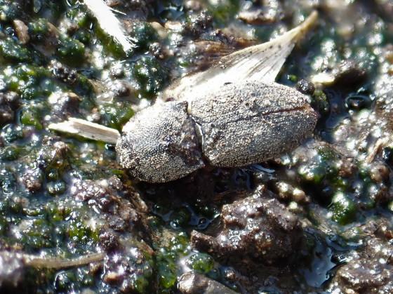 ハマベオオヒメサビキコリ