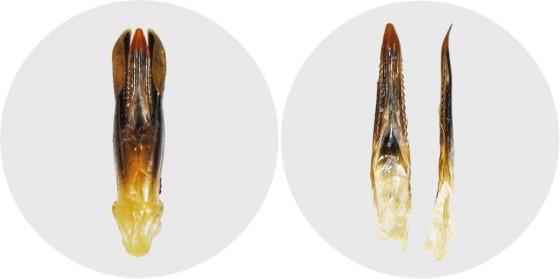 チョウセンムツボシタマムシの交尾器