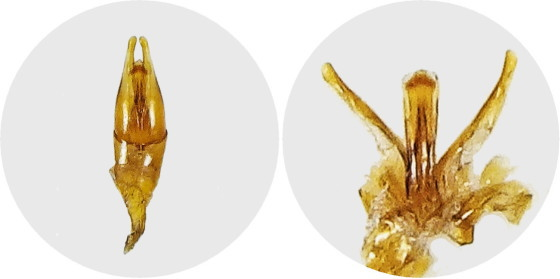 キイロヒラタガムシの交尾器
