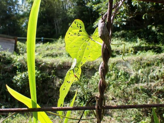 オニドコロ クロバネクビボソハムシの食痕