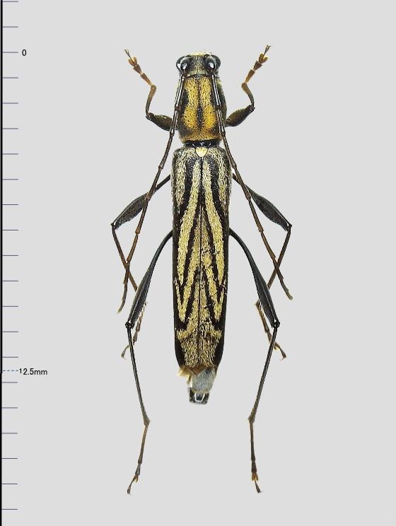 カンボウトラカミキリ基亜種