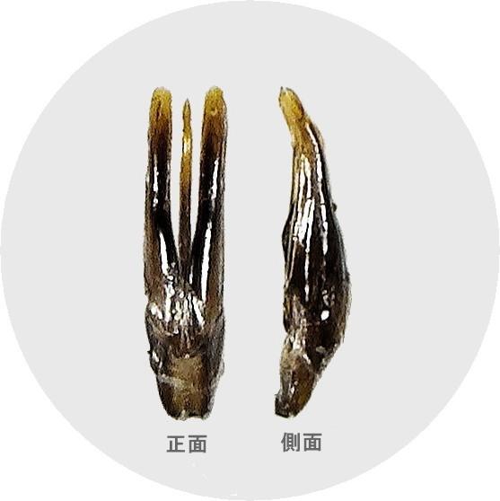 タイリクシジミガムシの交尾器