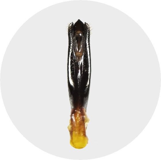 不明ナガタマムシの交尾器