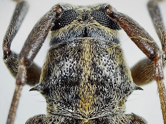 Sciades fasciatus fasciatus (Matsushita,1943)