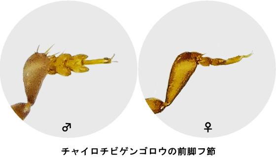 チャイロチビゲンゴロウの前脚フ節